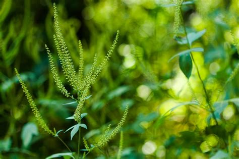 Info on Giant Ragweed Plant, a Bad Weed for Allergies